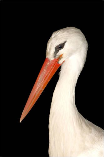 Posterlounge Alu Dibond 80 x 120 cm: A European White Stork, Ciconia Ciconia Ciconia, at The Lincoln Children's Zoo. von Joel Sartore/National Geographic (Lincoln Zoo Childrens)