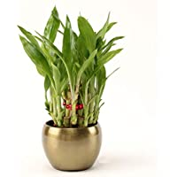 Ferns 'N' Petals 2 Layer Lucky Bamboo Plant in Brass Copper Pot 3 X 3 Inches