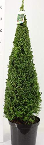 Buchsbaum Farbe