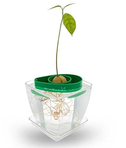 AvoSeedo - Pflanzen Sie Ihre eigenen Avocado Baum, Indoor / Outdoor oder für Zuhause Dekorationen - außergewöhnliche Garten Geschenke für Frauen und Männer