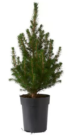livereal potted christmas tree white spruce 1 tree 15cm pot - White Spruce Christmas Tree