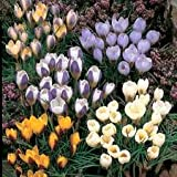 Crocus Bulbes - Pack de Mix de 50 espèces de bulbes de Crocus