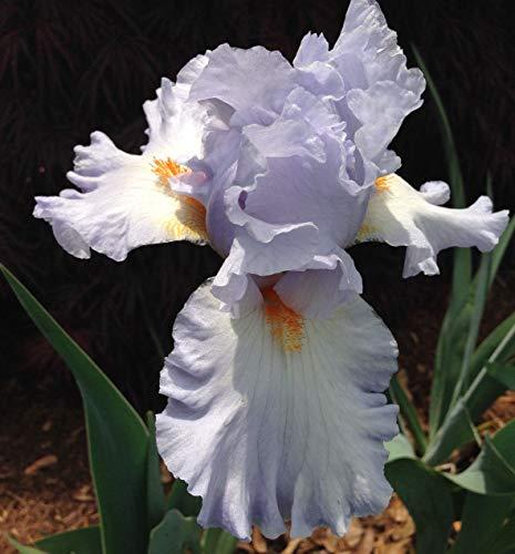 PLAT FIRM GERMINATIONSAMEN: Hohe Schwertlilie Prinzessin Caroline de Monaco Blau Pflanze Rhizome Perennial - Servierplatten Prinzessin Servierplatte