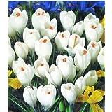 10PC bola de azafrán (no una semilla azafrán), hermosas flores de jardín, macetas altas bulbos de flores 6