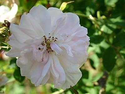 """Damaszenerrose """"York & Lancaster"""" von Agel Rosen auf Du und dein Garten"""
