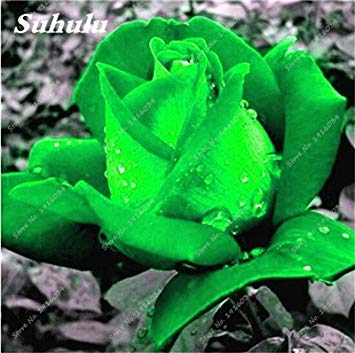 100 pièces / sac Couleur Rare Rose Graines Outdoor Bonsai Graines de fleurs vivaces Fleurs Graines Plante en pot pour jardin Décor 24