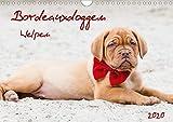 Bordeauxdoggen Welpen (Wandkalender 2020 DIN A4 quer): Junge Bordeauxdoggen auf Entdeckertour (Monatskalender, 14 Seiten ) (CALVENDO Tiere)