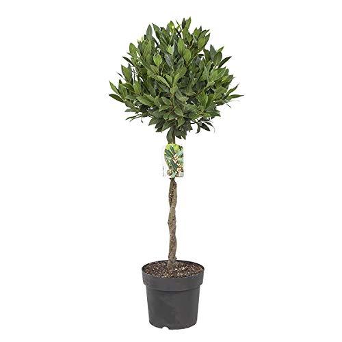 BOTANICLY | Zimmerpflanze - Lorbeer | Höhe: 100 cm | Laurus Nobilis