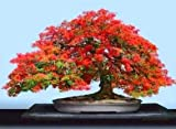 #5: Creative Farmer Bonsai Suitable Seeds - Gulmohar Bonsai Suitable Seeds For Bonsai Suitable Lovers
