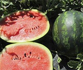 Bobby-Seeds Melonensamen Mini Love F1 Wassermelone Portion - Mini-samen