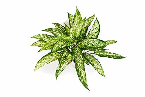artplants – Künstliche Aglaonema Asmara mit 36 Blättern, grün – weiß, 50 cm – Deko Kolbenfaden Gewächs/Plastikpflanze