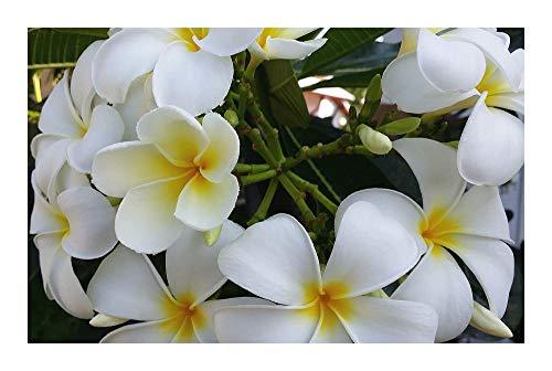 Plumeria Snowwhite - Frangipani - Wachsblume - 3 Samen
