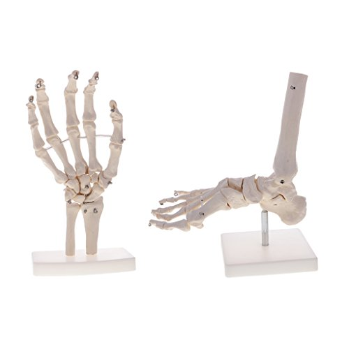 T TOOYFUL 1: 1 Lebensgroße Menschliche Hand + Fuß Sprunggelenk Skelett Modell Anatomie Spielzeug