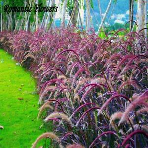 Qulista Samenhaus - 50pcs Rarität Schwarzes/Rotes Lampenputzergras Ziergras Federborstengras Blumensamen winterhart mehrjährig pflegeleicht für Garten oder Kübel
