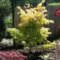 Acer palmatum 'Orange Dream' Liter 5 80-100 cm