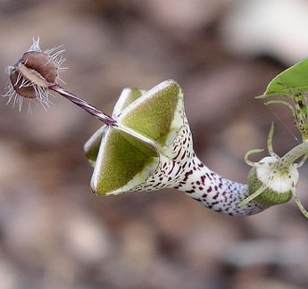 Ceropegia linearis Samen 100PCS Blumen Samen der Welt Seltene Blumen-Garten-Haus Bonsai Parachute Ceropegia haygarthii var. distincta