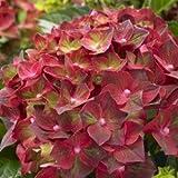 Hortensie Gartenhortensie Magical Ruby Tuesday