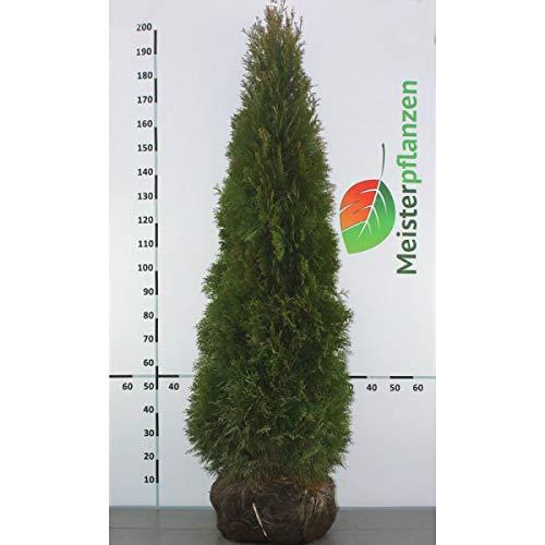 Gardline - Lebensbaum Thuja Smaragd 160-180 cm, 10x Heckenpflanze