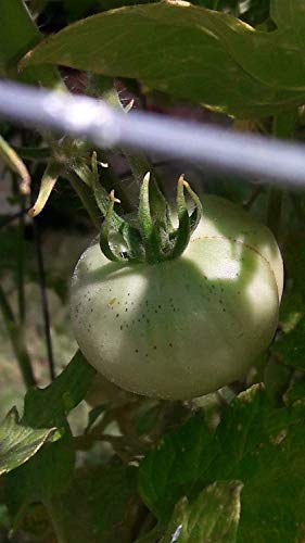 Farmerly Beautiful 10 Seeds Livingston's Lutescent, Or