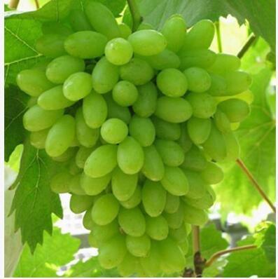 50 pcs / lot de raisin rouge doux Graines avancée Fruit graines croissance naturelle de raisin délicieux fruits de jardinage Plantes 5