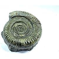 Durchmesser4cm 2pcs Shell Fossil Probe Ammonit Madagaskar Ausgestorben Natursteine und Mineralien f/ür grundlegende biologische Wissenschaft Bildung