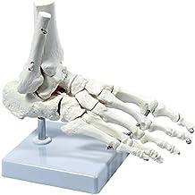 S24.3223 Fuss - Skelett, lebensgross, mit Schien- und Wadenbeinansatz