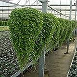 Dichondra repens Rasen Seed Geld Gras Hängen Dekorative Gartenblume für Geschenk freies Verschiffen