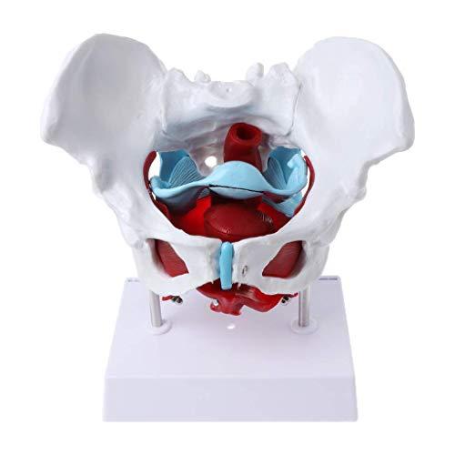 Modelo anatómico médico de la pelvis femenina -Modelo anatómico femenino del músculo pélvico y del órgano Útero Recursos para la enseñanza del músculo del ovario Material educativo,capacitación médica
