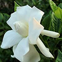 CAPE JASMINE GARDENIA JASMINOIDES fragrant 100 seeds by Tropical