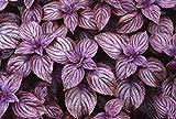 PLAT FIRM KEIM SEEDS PLATFIRM-Lila Shiso Japanese Basil Perilla Herb 50 Samen