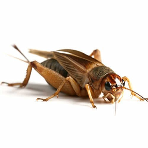 Large Silent Brown Crickets 15-20mm aprox 50 per tub