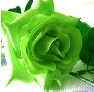 200pcs / pack Rare Pays-Bas Rainbow Rose Flower Seed Outdoor Blooming Bonsai Plante en pot décoratif Decor Garden Livraison gratuite 5