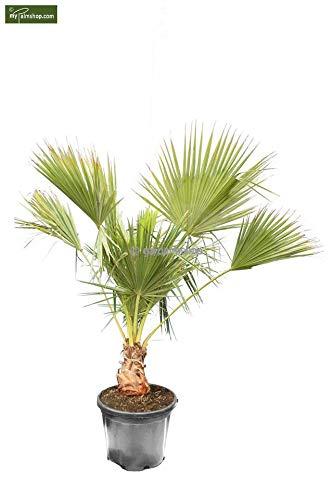Brahea edulis - Guadalupepalme, verschiedene Größen (160-200cm - Stamm 30cm - Topf Ø 50cm)