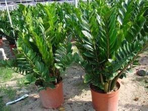 30seeds / sac, graines Money Tree, balcon en pot, meilleur petit jardin semences maison de plantes poussent facilement montre Embellir bonsaï