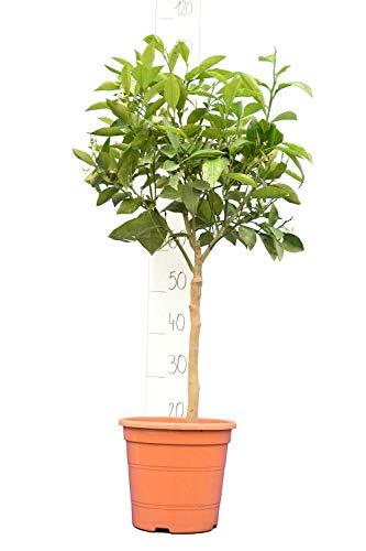 Citrus sinensis - Orangenbaum - verschiedene Größen (80-100cm - Topf Ø 22cm)