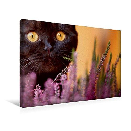 Premium Textil-Leinwand 45 cm x 30 cm quer, Schokoladige Britisch Kurzhaar Katze in der Heide | Wandbild, Bild auf Keilrahmen, Fertigbild auf echter Leinwand, Leinwanddruck (CALVENDO Tiere)
