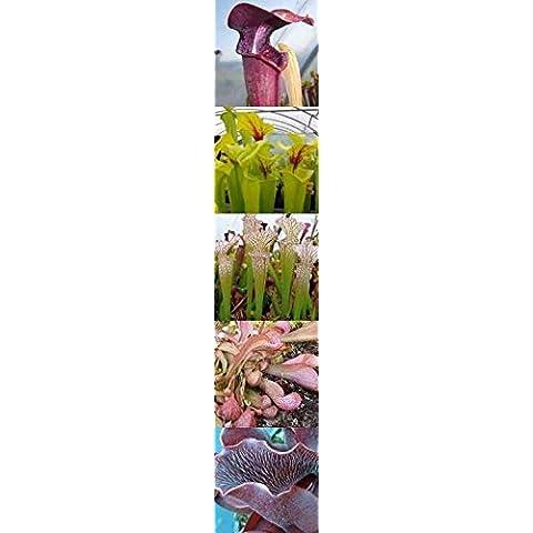 Sarracenia mix - Sarracena, Planta de jarra Norteamericana, Plantas trompeta, Cuerno de caza - 50