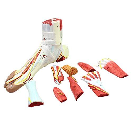 ZKKK Fußmodell mit neurovaskulären Bändern Anatomisches Sprunggelenk Muskel Gefäßbandmodell Medizinische Ausbildungshilfe