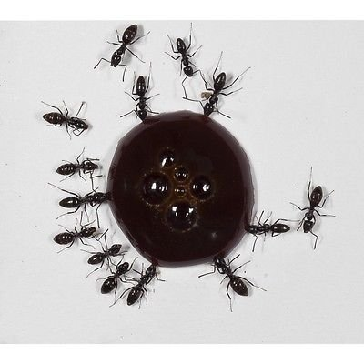30ml Nectar pour fourmis- Sirop de protéines - PROTEIN SYRUP FOR QUEENS ANTS AND ANTS COLONYS.