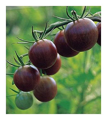 Tomate Cherry Brown Berry - Tomate cerise brun - 10 graines