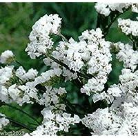VIRTUE Statice - White - 100 Seeds (Limonium Sinuatum Iceberg) Great For Cut Flowers