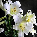 Bloom Green Co. 100pcs lys, fleur de lys, (pas) bulbes de lis, fleur de lys, lÃgÚre odeur, plante en pot bonsaï pour plantes de la maison: 6