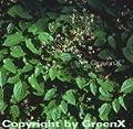 Alpen Elfenblume - Epimedium alpinum von Baumschule auf Du und dein Garten