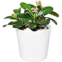 EVRGREEN Christusdorn | | Zimmerpflanze in Hydrokultur | im Set inkl. Keramiktopf (weiß) | euphorbia x lomi