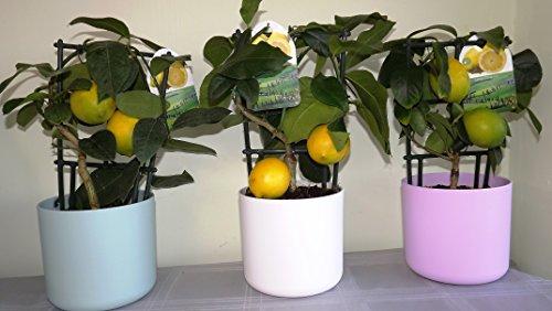 small-modern-lemon-tree-vasi-consegna-in-prima-settimana-di-dicembre-lemon-tree-frutta-limone-frutta
