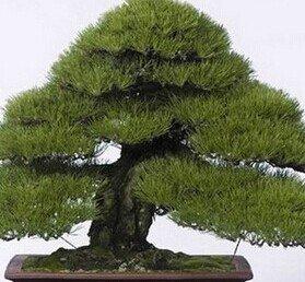 30pcs graines d'arbres de pins japonais, Pinus thunbergii, graines d'arbres bonsaï maison bricolage jardin plantation