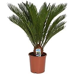 Cycas Revoluta 60 cm / 10-15 Wedel Palmfarn Sagopalme