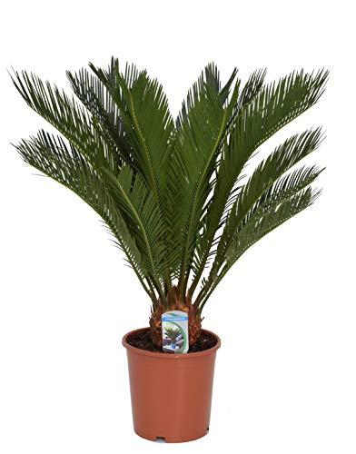 Cycas Revoluta 50 cm / 10-15 Wedel Palmfarn Sagopalme