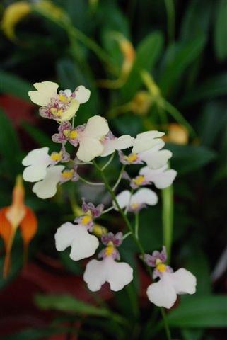 Mühlan Orchideen 1888