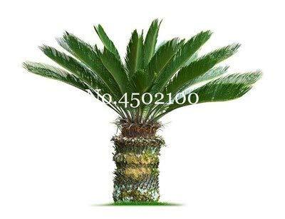 bloom green co. 5 pz blu cycas bonsai, sago palma plant, cycas albero, pianta in vaso rare per la casa giardino popolare paesaggio pianta facile da coltivare: 8